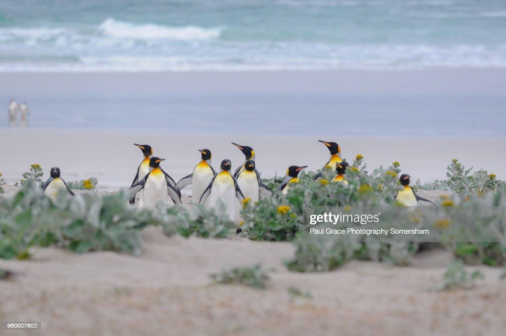 King Penguins, Volunteer Point, Falklands Islands. : Stock-Foto