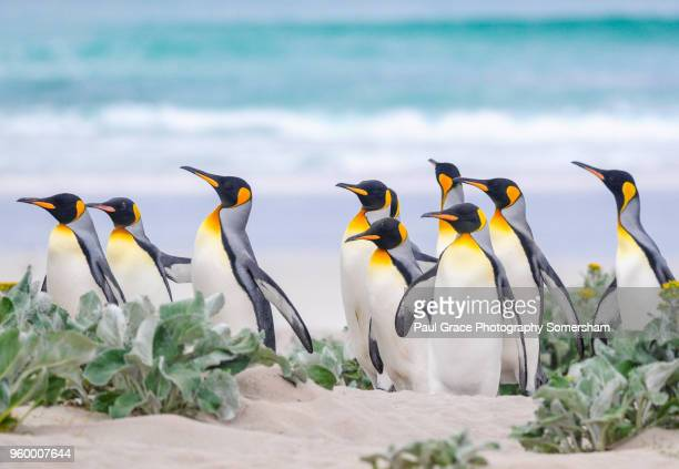 king penguins, volunteer point, falklands islands. - koningspinguïn stockfoto's en -beelden