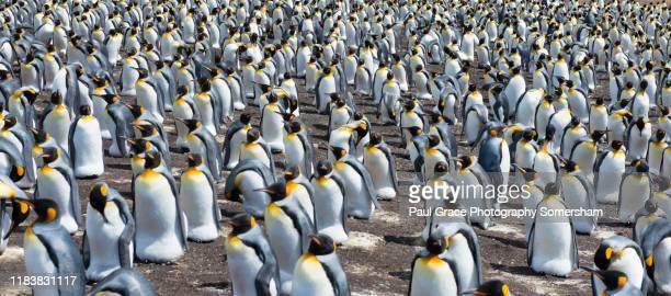 king penguins, volunteer point. - falklandinseln stock-fotos und bilder