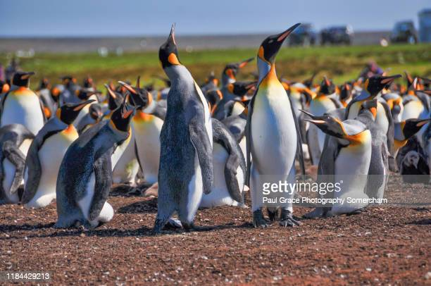 king penguins, volunteer point. - volunteer point stock pictures, royalty-free photos & images