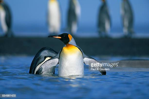 king penguins wading through water - st andrews bay stock pictures, royalty-free photos & images