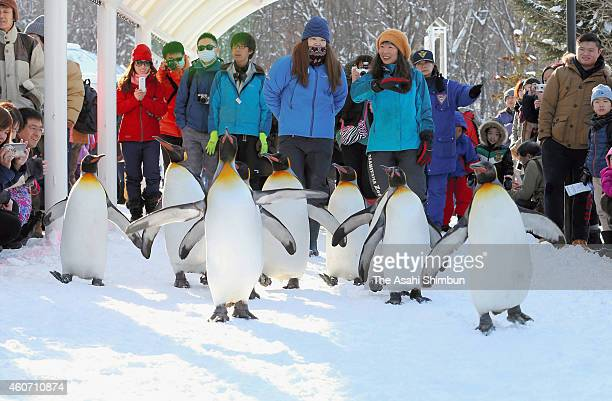 King penguins walk on the snow at Asahiyama Zoo on December 20 2014 in Asahikawa Hokkaido Japan The annual event only held during snow season not to...
