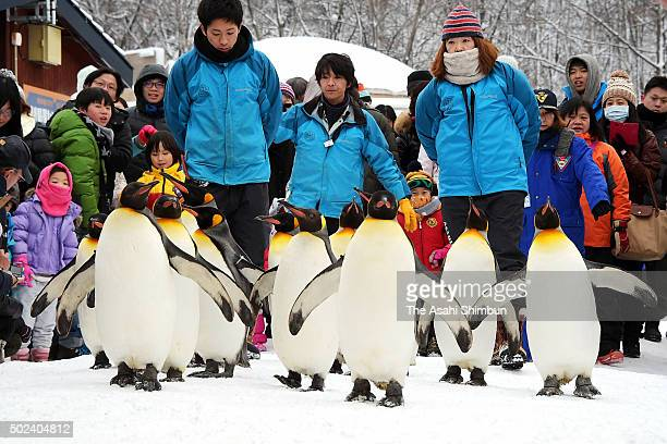 King penguins walk on the snow at Asahiyama Zoo on December 23 2015 in Asahikawa Hokkaido Japan The annual event only held during snow season not to...
