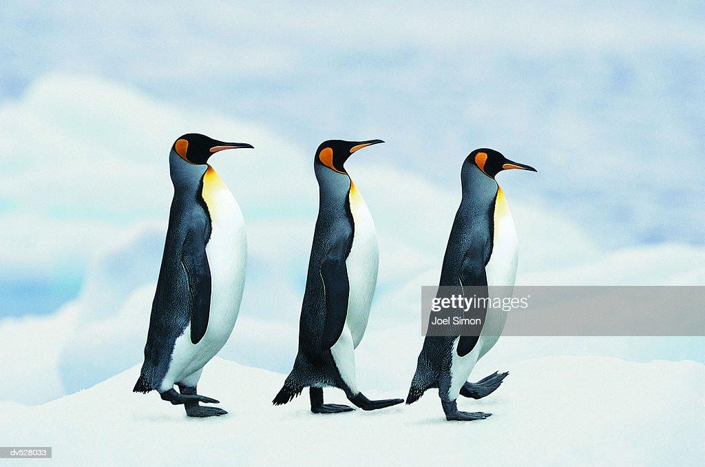 King Penguins walking in single file : Stock-Foto