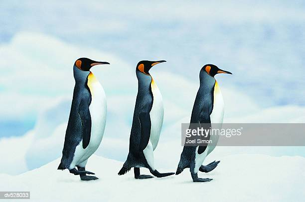 king penguins walking in single file - pinguïn stockfoto's en -beelden