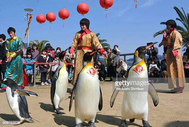 King penguins wearing collars written 'fortune' parade at the Nagasaki Penguin Aquarium on February 11 2016 in Nagasaki Japan
