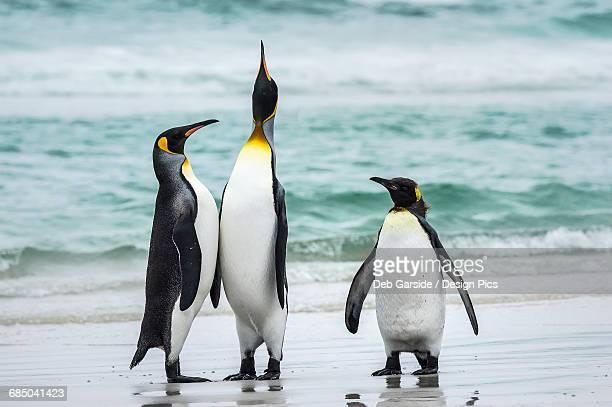 King penguins (Aptenodytes patagonicus) with a Gentoo penguin (Pygoscelis papua), Volunteer Point