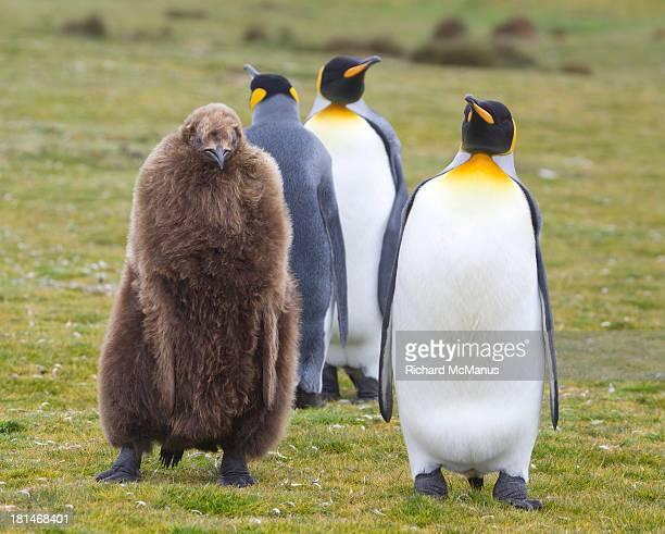king penguins with chick. - falklandinseln stock-fotos und bilder