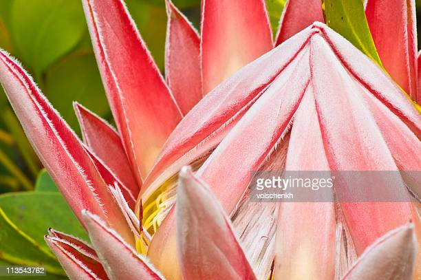 King Protea closed flower