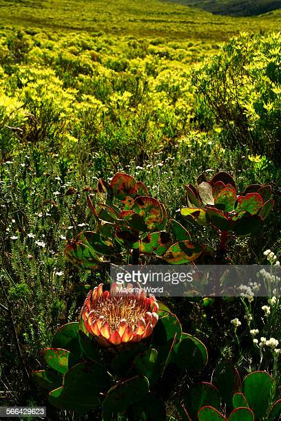 King protea flower, South Africa's national flower, floral kingdom, The Whale Trail, Overberg, South Africa.