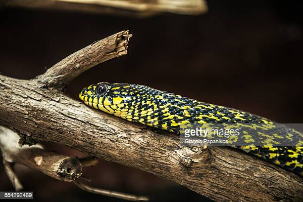 king rat snake - rat snake stock photos and pictures