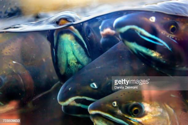 king salmon (oncorhynchus tshawytscha) swimming in hatchery, issaquah, washington state, usa - chinook salmon stock photos and pictures