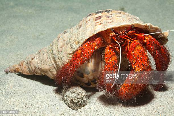 king size white-spotted hermit crab in adult trumpet triton shell - hermit crab stock pictures, royalty-free photos & images