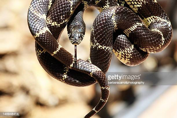 king snake - kingsnake stock photos and pictures