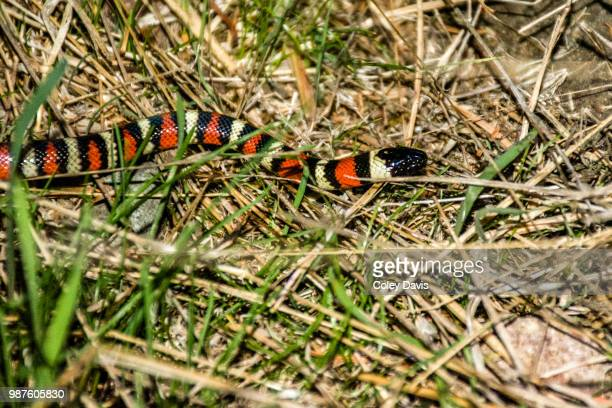 king snake - coral snake stock pictures, royalty-free photos & images