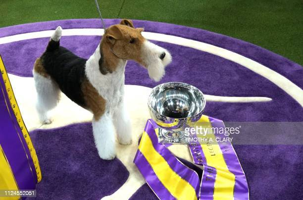 King the wire hair fox terrier poses after winning Best in Show at the Westminster Kennel Club 143rd Annual Dog Show in Madison Square Garden in New...