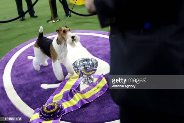King the wire hair fox terrier poses after winning 'Best in Show' at the Westminster Kennel Club 143rd Annual Dog Show in Madison Square Garden in...