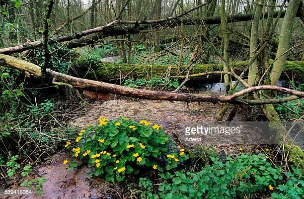 Kingcup / Marsh marigold in marshland / swamp