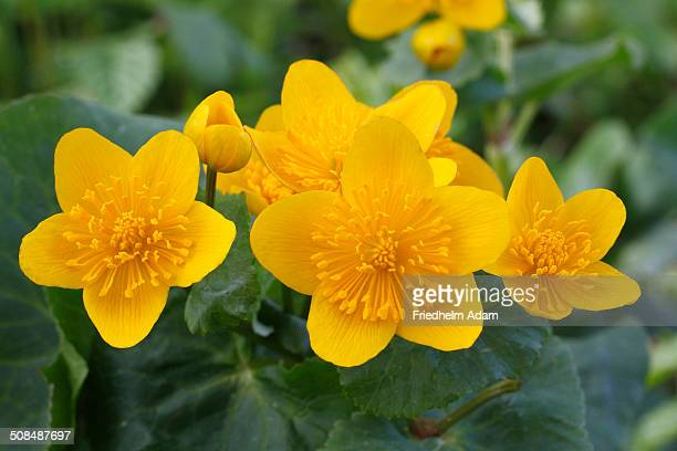 Kingcup or Marsh Marigold -Caltha palustris-, blooming, North Rhine-Westphalia, Germany