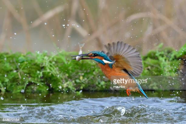 kingfisher, alcedo atthis - common kingfisher stock photos and pictures