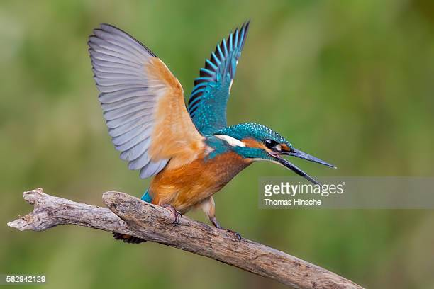 Kingfisher -Alcedo atthis-, young male, threatening, Middle Elbe, Saxony-Anhalt, Germany
