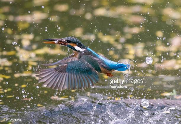 kingfisher bird with fish - kingfisher stock pictures, royalty-free photos & images
