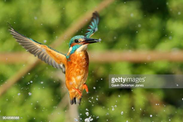 Kingfisher bursts out of water with a fish.