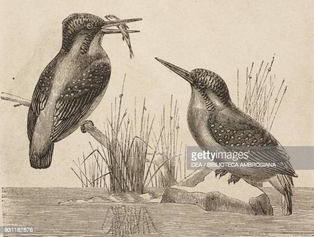 Kingfisher drawing from The Malay Archipelago 18611862 by Alfred Russell Wallace from Il Giro del mondo Journal of geography travel and costumes...