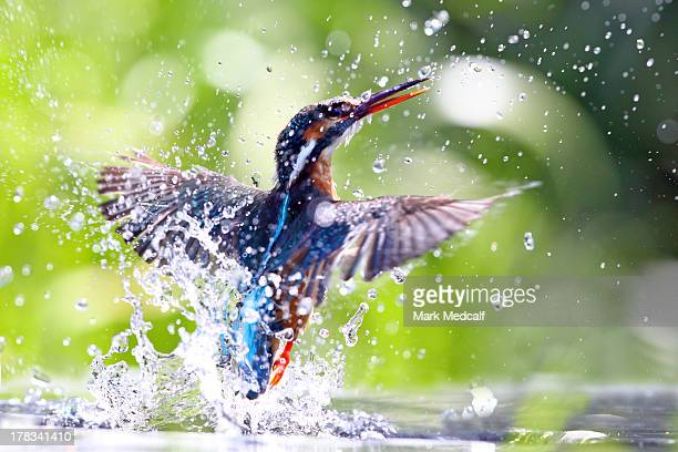 Kingfisher emerging out of water