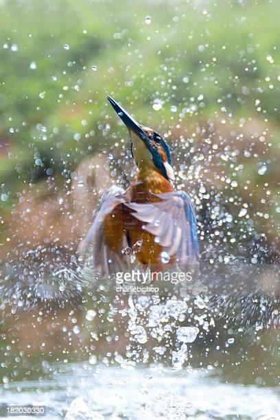 Kingfisher erupts from the water