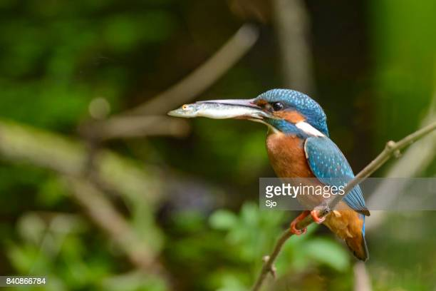Kingfisher female holding a small fish in her beak