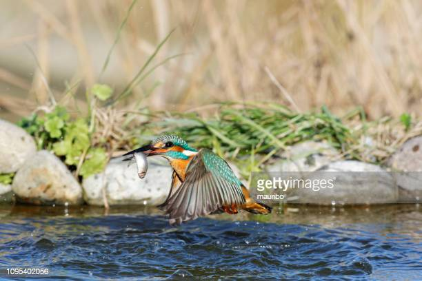 kingfisher fishing (alcedo atthis) - common kingfisher stock photos and pictures