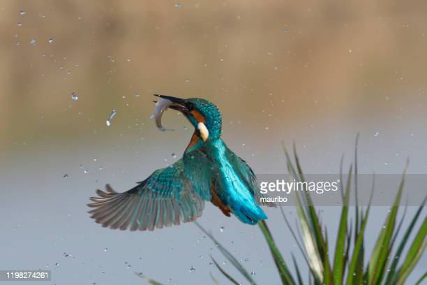 kingfisher fishing (alcedo atthis) - water bird stock pictures, royalty-free photos & images