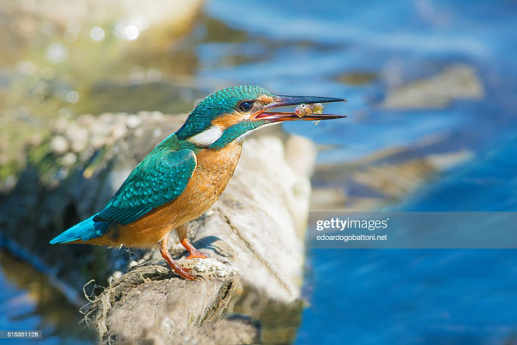 kingfisher fishing : Foto stock