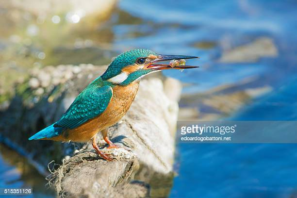 kingfisher fishing