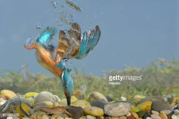 kingfisher fishing underwater - common kingfisher stock photos and pictures