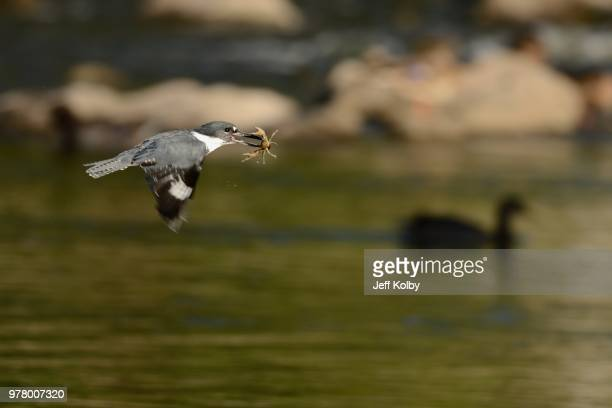 kingfisher flying and holding crawfish in beak, wisconsin, usa - staadts,_wisconsin stock pictures, royalty-free photos & images