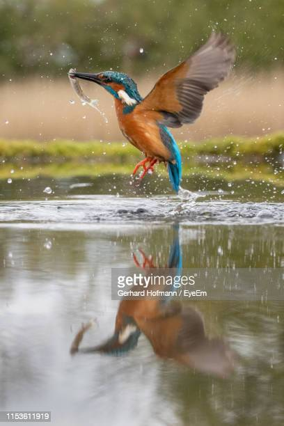 kingfisher hunting fish in lake - galloway scotland stock pictures, royalty-free photos & images
