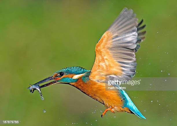 kingfisher in flight with fish - kingfisher stock pictures, royalty-free photos & images