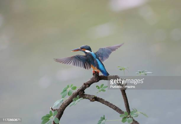 a kingfisher in june - purbella stock photos and pictures