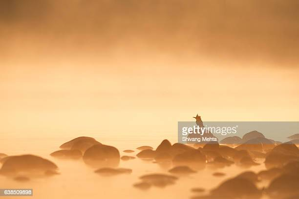 kingfisher in misty morning - uttarakhand stock pictures, royalty-free photos & images