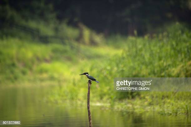 A kingfisher is seen on the bank of an affluent of the Rio Negro in the Amazonia Brazil on December 10 2015 AFP PHOTO / Christophe SIMON / AFP PHOTO...