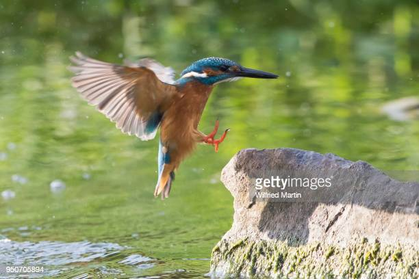 kingfisher (alcedo atthis) on landing approach to a stone, hesse, germany - カワセミ科 ストックフォトと画像