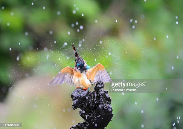 a kingfisher on rainy day - purbella stock photos and pictures