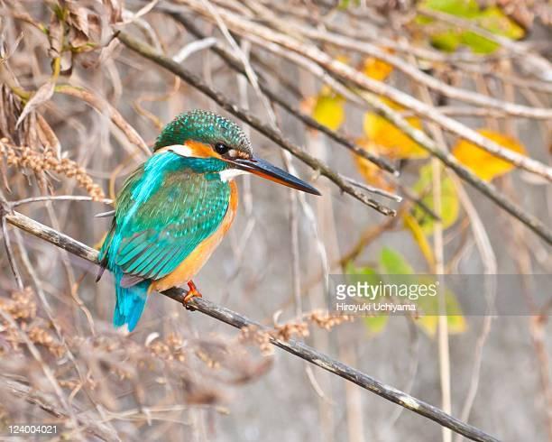 Kingfisher on twig
