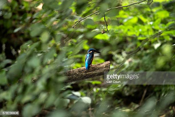 Kingfisher perches on a branch in Hampstead Heath Birding Pond on July 20 2016 in London England The City of London Corporation built an artificial...