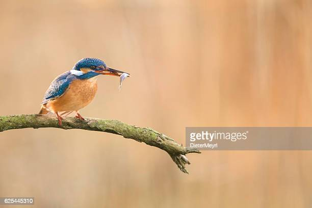 Kingfisher perching on branch with a fish in beak
