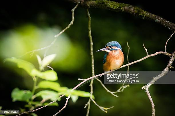 Kingfisher Perching On Twig In Forest