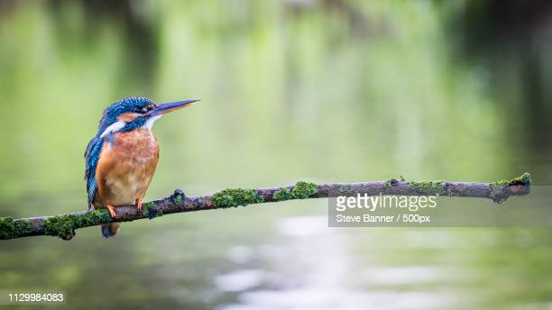 kingfisher perching on twig over water - kingfisher stock pictures, royalty-free photos & images