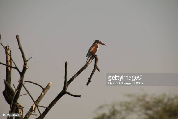 kingfisher - gray headed kingfisher stock pictures, royalty-free photos & images